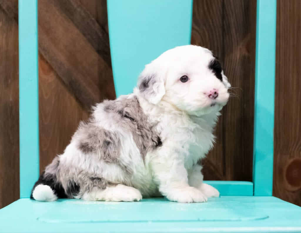 Echo is an F1 Sheepadoodle that should have  and is currently living in Iowa