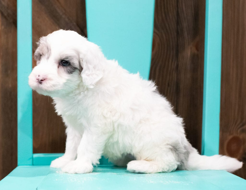 "Edge is an F1 Sheepadoodle that will be hypoallergenic. Read more about what a dog being hypoallergenic means on our latest blog post, ""The New Breed Everyone Seems to Want"""