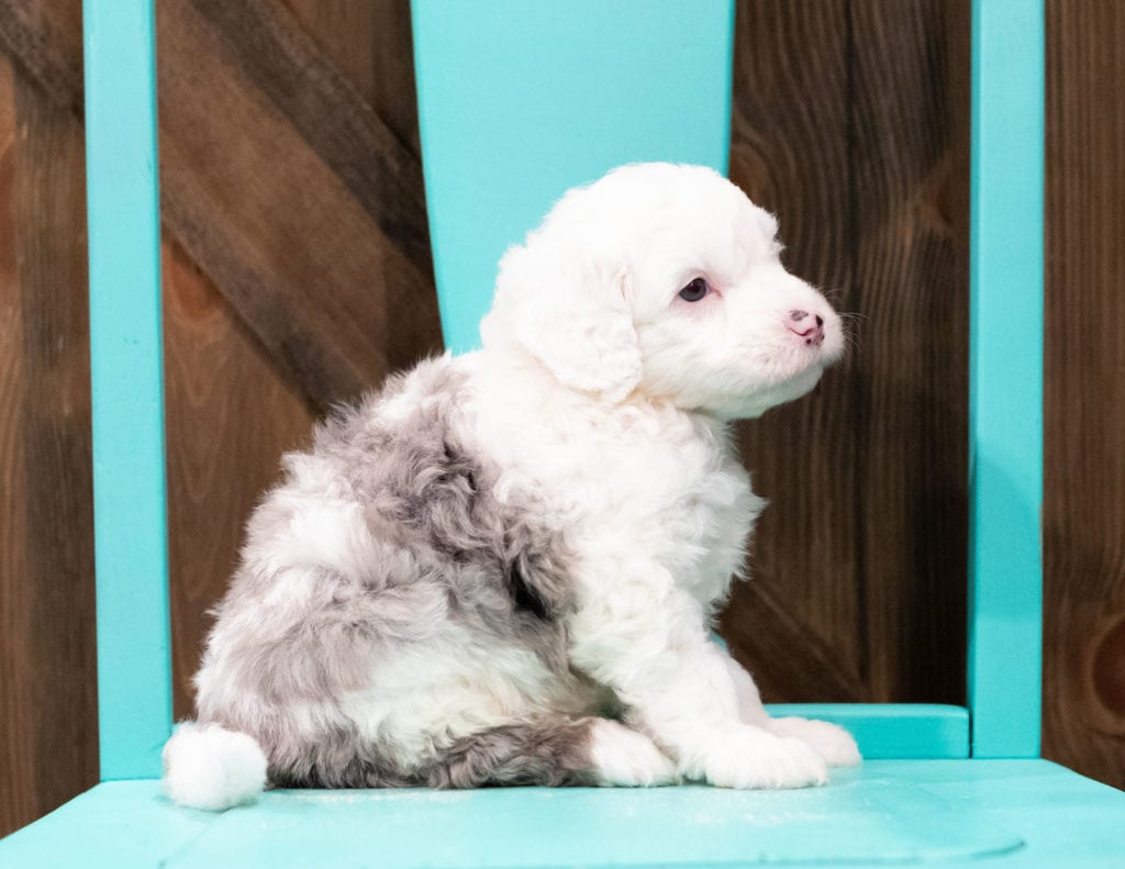"Edger is an F1 Sheepadoodle that will be hypoallergenic. Read more about what a dog being hypoallergenic means on our latest blog post, ""The New Breed Everyone Seems to Want"""