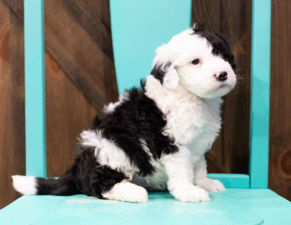 A picture of a Engy, one of our Mini Sheepadoodles puppies that went to their home in Nebraska