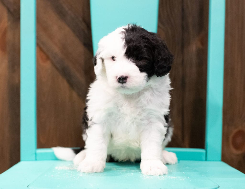 Engy is an F1 Sheepadoodle that should have  and is currently living in Nebraska