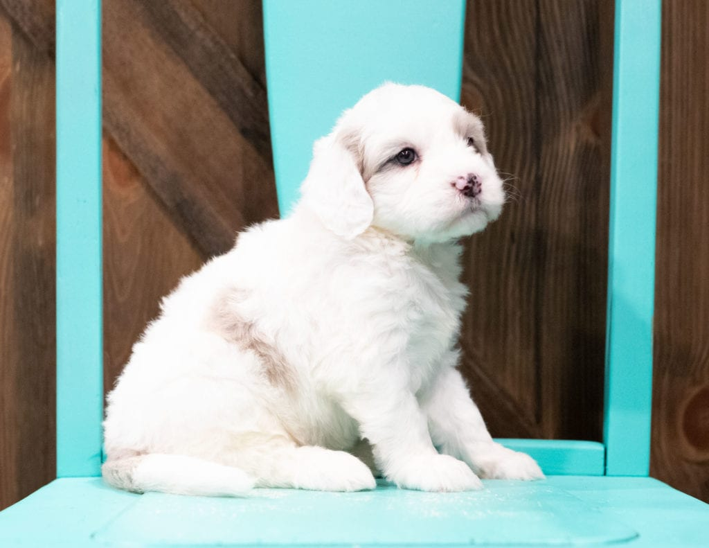 Elfs is an F1 Sheepadoodle that should have  and is currently living in Utah