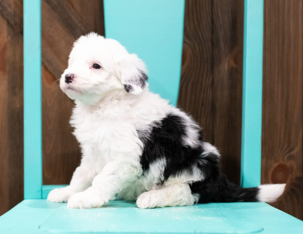 "Elliot is an F1 Sheepadoodle that will be hypoallergenic. Read more about what a dog being hypoallergenic means on our latest blog post, ""The New Breed Everyone Seems to Want"""