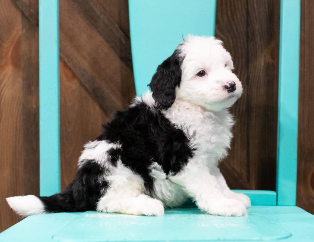 A picture of a Elliot, one of our Mini Sheepadoodles puppies