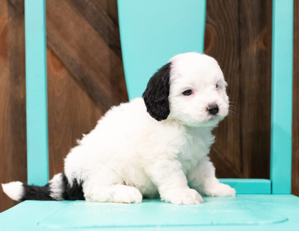 A picture of a Elmer, one of our Mini Sheepadoodles puppies