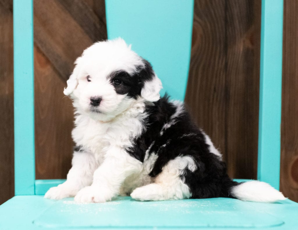 A picture of a Elssa, one of our Mini Sheepadoodles for sale
