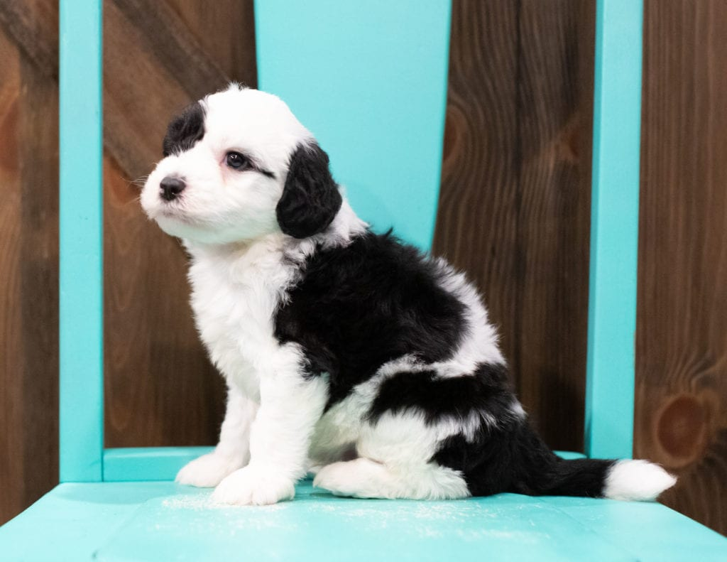 Ethan is an F1 Sheepadoodle.