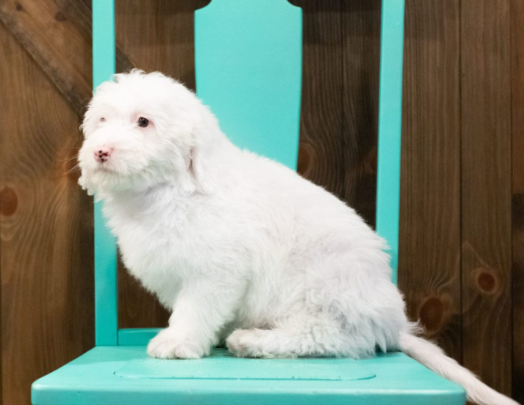 Another great picture of Easton, a Sheepadoodles puppy
