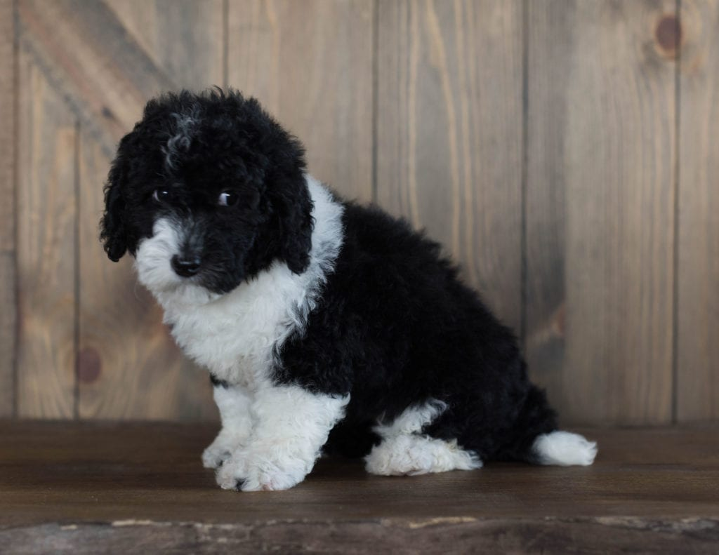 Delilah is an F1B Sheepadoodle that should have  and is currently living in Iowa
