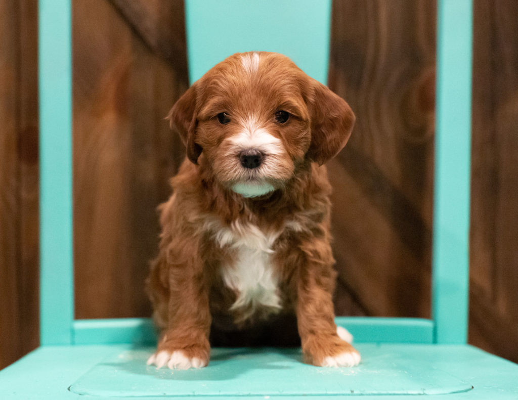 A picture of a Folly, one of our  Irish Doodles puppies that went to their home in Illinois
