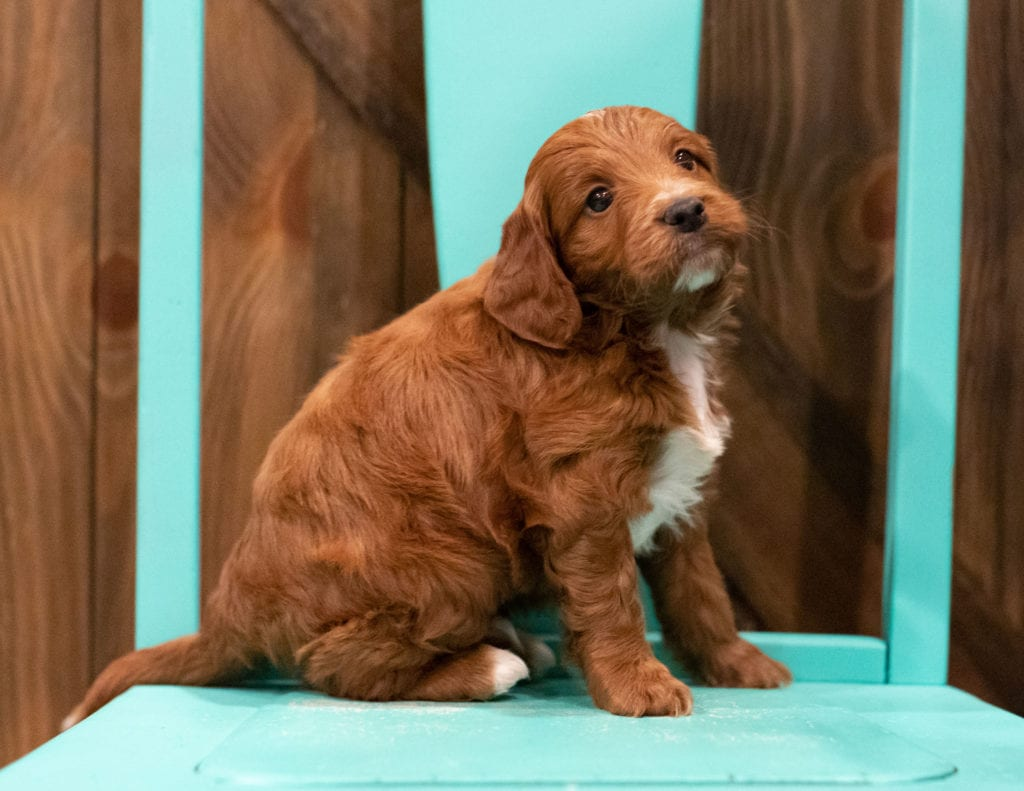 Foster came from Rylee and Reggie's litter of F1 Irish Doodles