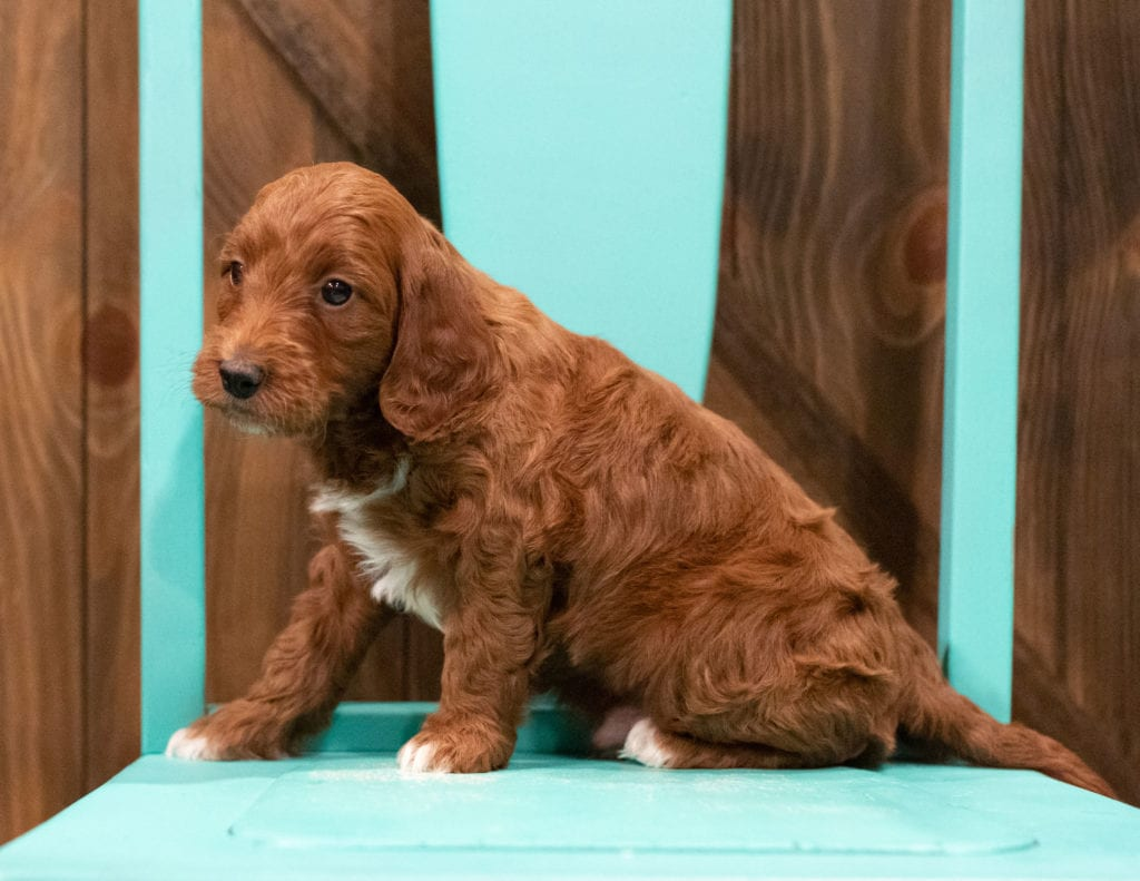 A picture of a Fudge, one of our  Irish Doodles puppies that went to their home in Minnesota