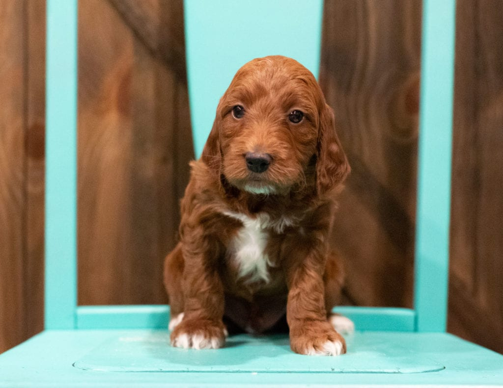 Fudge came from Rylee and Reggie's litter of F1 Irish Doodles