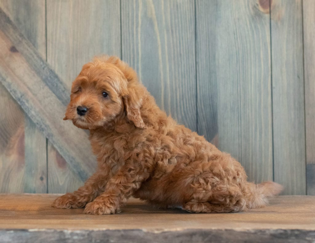 Goose came from Berkeley and Reggie's litter of F1B Goldendoodles
