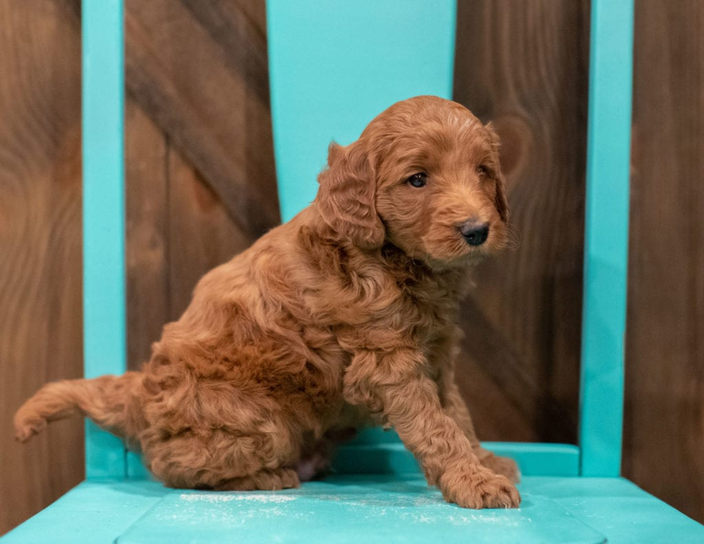 A picture of a Gimmy, one of our Petite Goldendoodles for sale