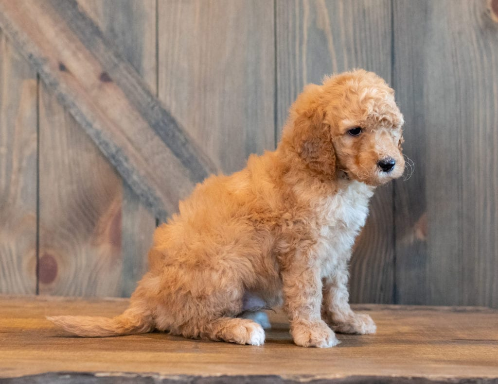 Hanson is an F1B Goldendoodle.