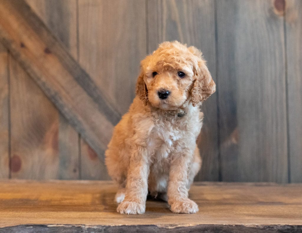 A picture of a Hanson, one of our Mini Goldendoodles for sale
