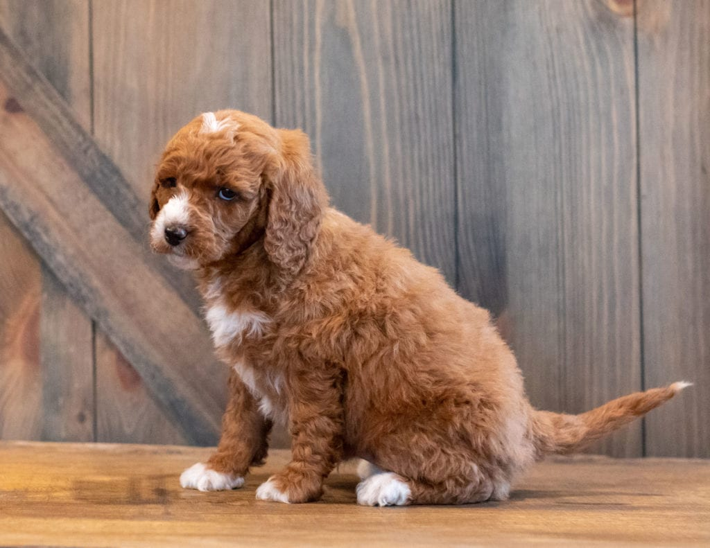 Harlen came from Kimber and Scout's litter of F1B Goldendoodles