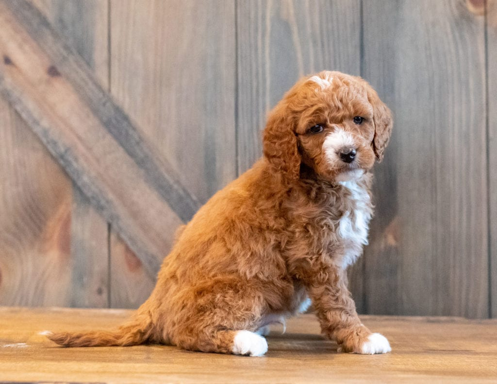 Harlen is an F1B Goldendoodle that should have  and is currently living in Dominican Republic