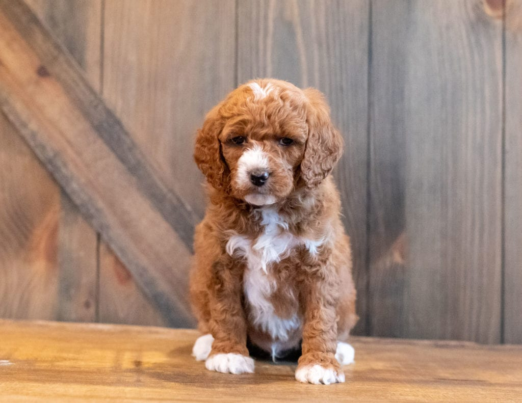 A picture of a Harlen, one of our Mini Goldendoodles puppies that went to their home in Dominican Republic