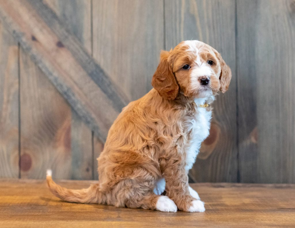 Heidi came from Kimber and Scout's litter of F1B Goldendoodles