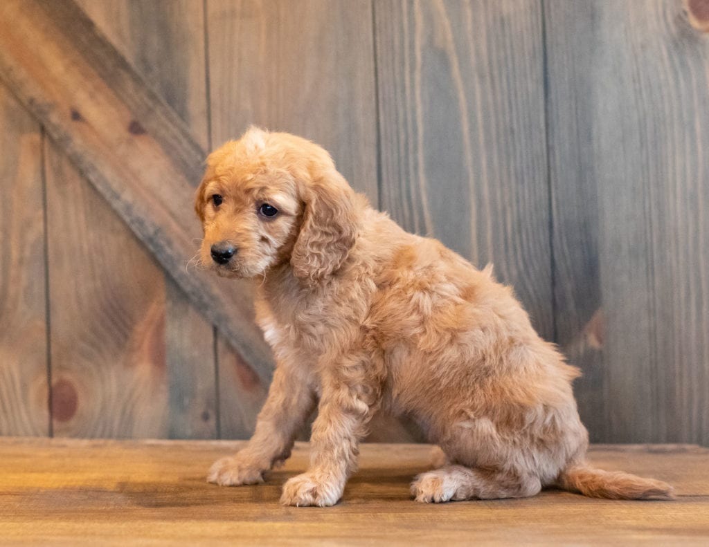 Helgo came from Kimber and Scout's litter of F1B Goldendoodles