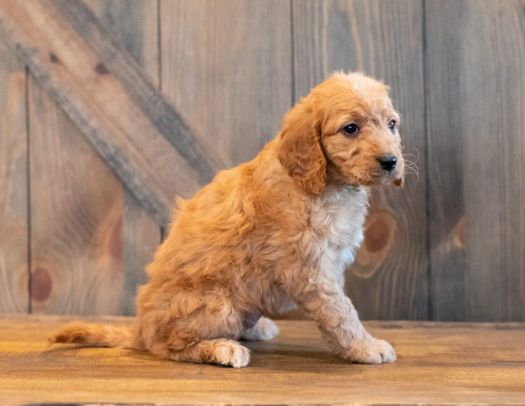 Helgo is an F1B Goldendoodle that should have  and is currently living in South Dakota