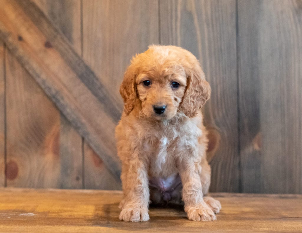 A picture of a Helgo, one of our Mini Goldendoodles puppies that went to their home in South Dakota