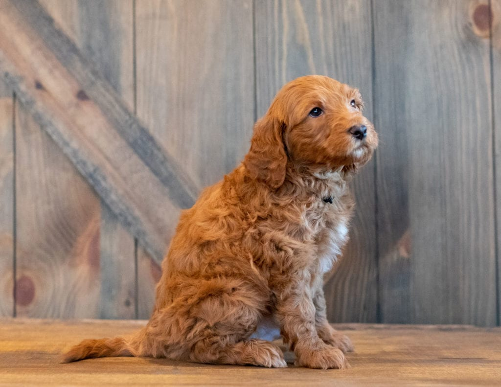 Hickory is an F1B Goldendoodle.