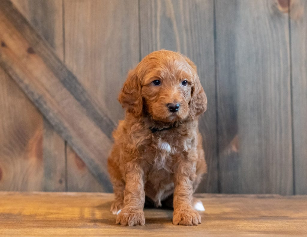 A picture of a Hickory, one of our Mini Goldendoodles for sale