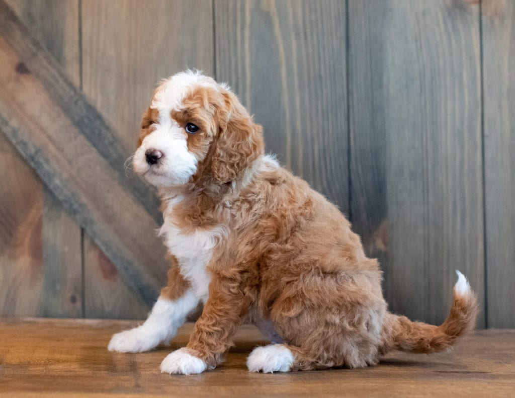 Hilton is an F1B Goldendoodle that should have  and is currently living in Sweden