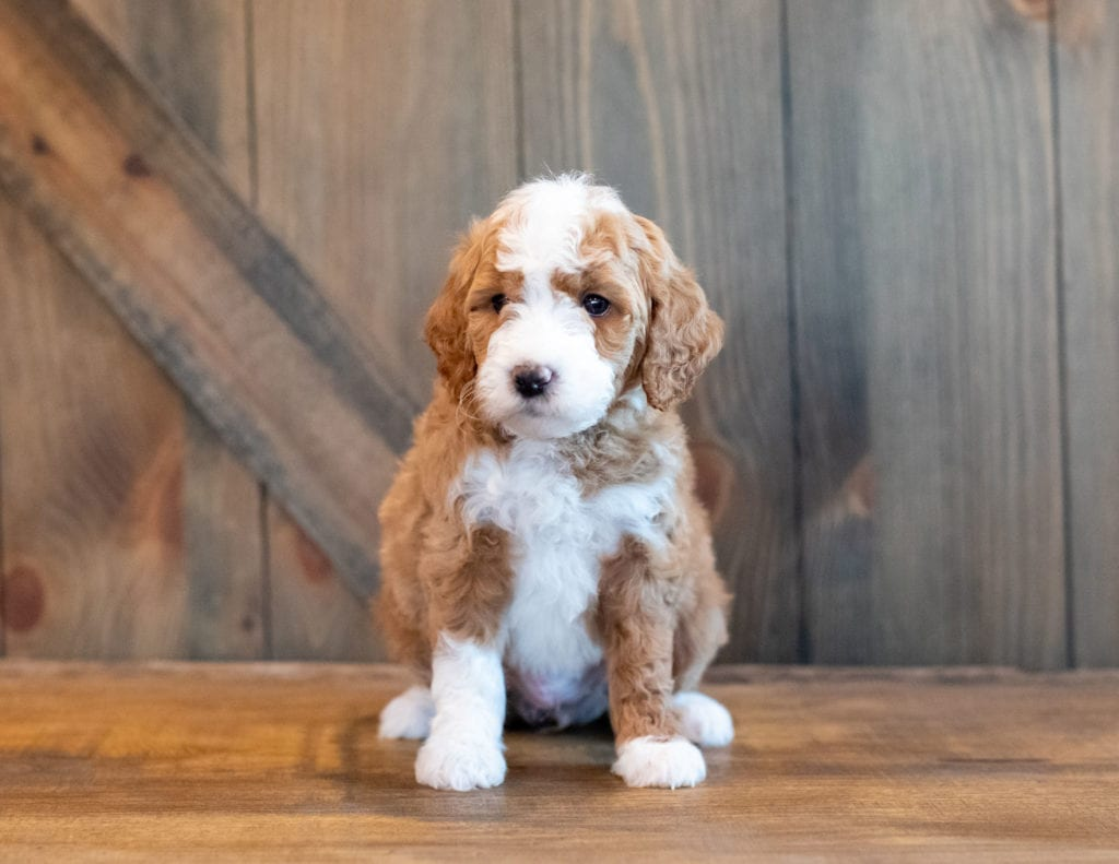 A picture of a Hilton, one of our Mini Goldendoodles puppies that went to their home in Sweden