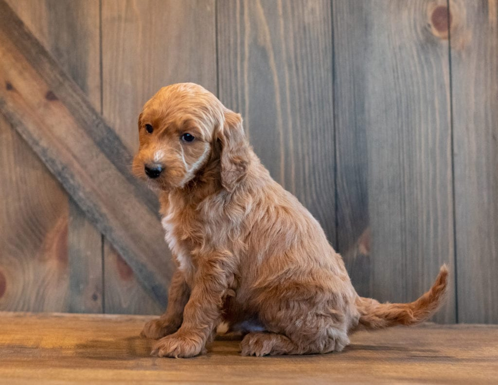 Honey came from Kimber and Scout's litter of F1B Goldendoodles
