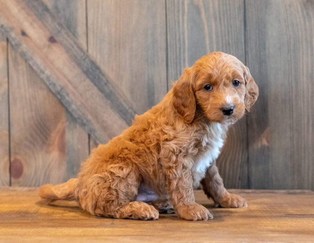 Honey is an F1B Goldendoodle that should have  and is currently living in Nebraska