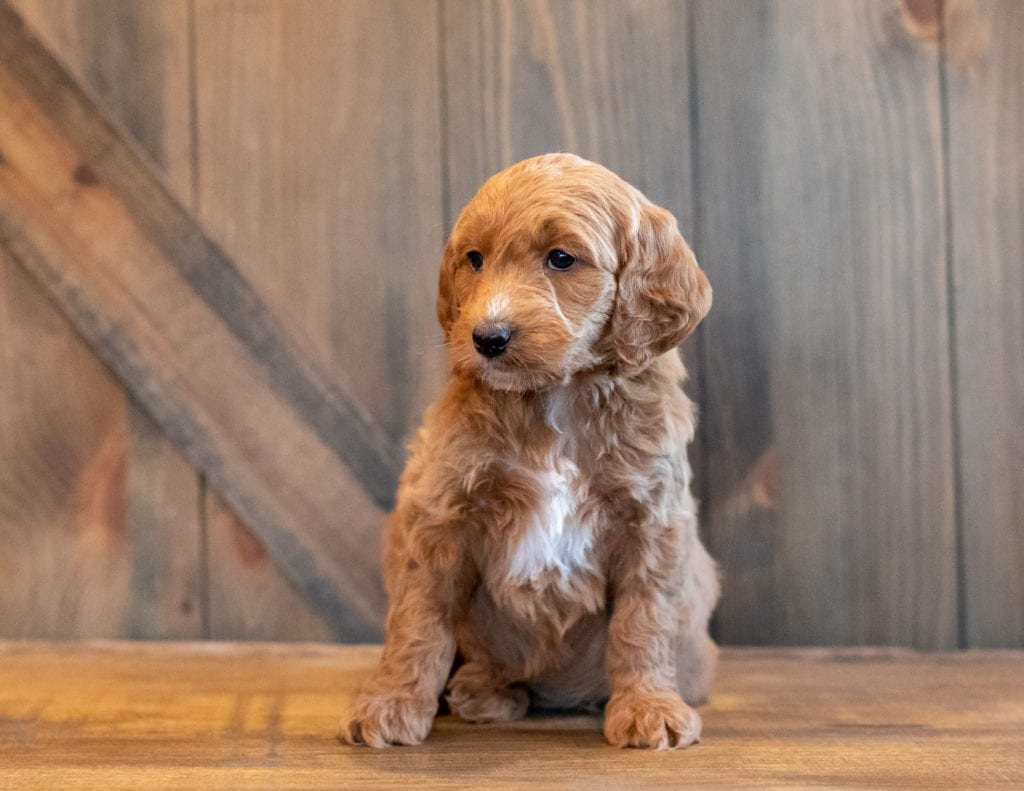 A picture of a Honey, one of our Mini Goldendoodles puppies that went to their home in Nebraska