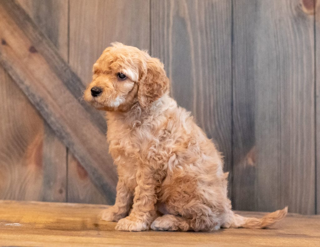Hutch is an F1B Goldendoodle that should have  and is currently living in Florida