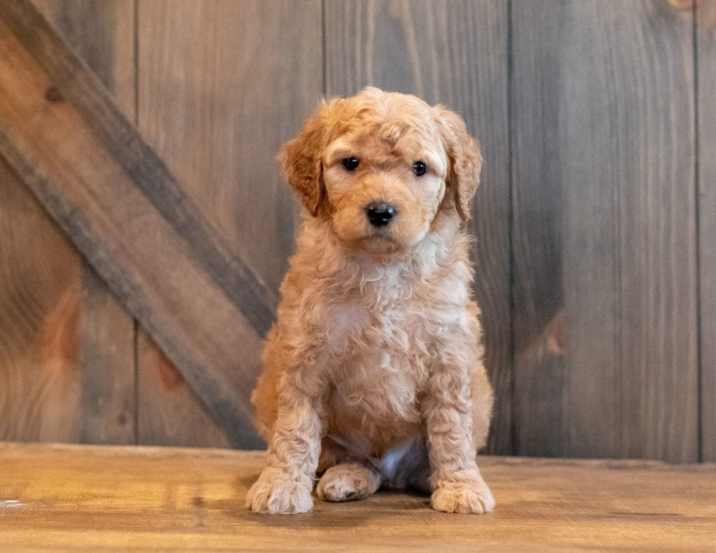 A picture of a Hutch, one of our Mini Goldendoodles puppies that went to their home in Florida