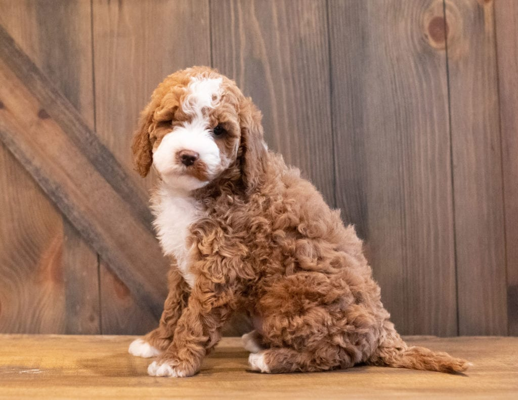Inca came from Paisley and Rugar's litter of F1BB Goldendoodles