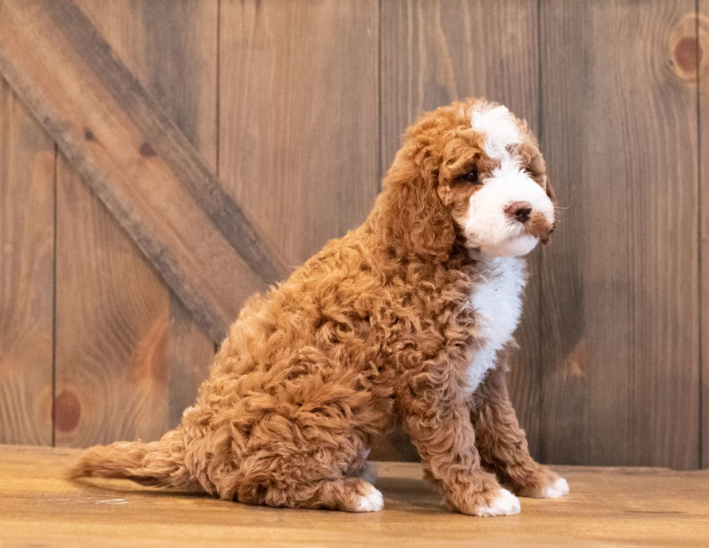 Inca is an F1BB Goldendoodle that should have  and is currently living in Iowa