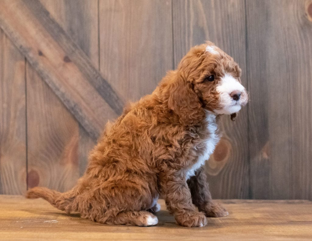 Irene came from Paisley and Rugar's litter of F1BB Goldendoodles