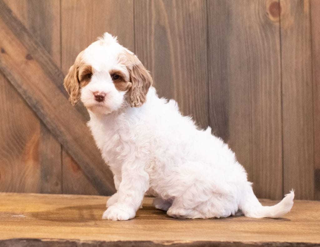 Isabel came from Paisley and Rugar's litter of F1BB Goldendoodles