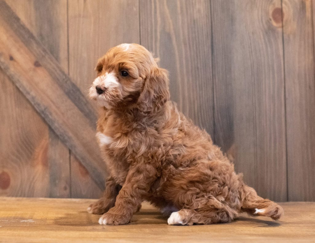 Ivan came from Paisley and Rugar's litter of F1BB Goldendoodles