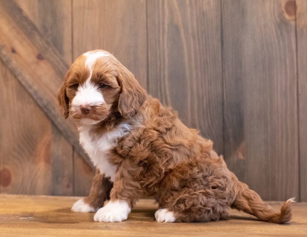 Ivy came from Paisley and Rugar's litter of F1BB Goldendoodles