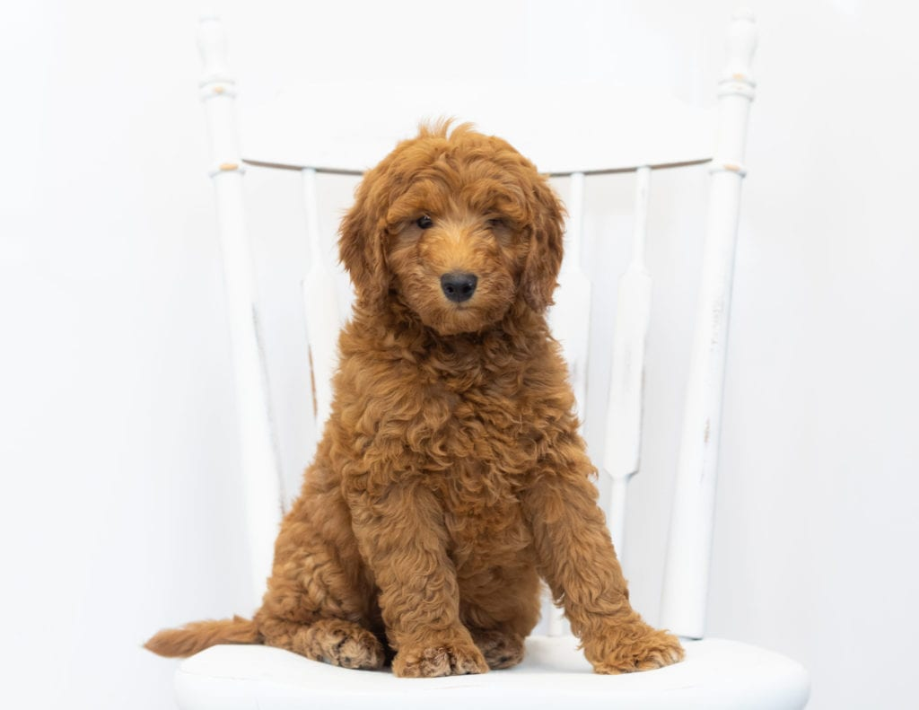 A picture of a Gimmy, one of our Petite Goldendoodles puppies that went to their home in New Jersey