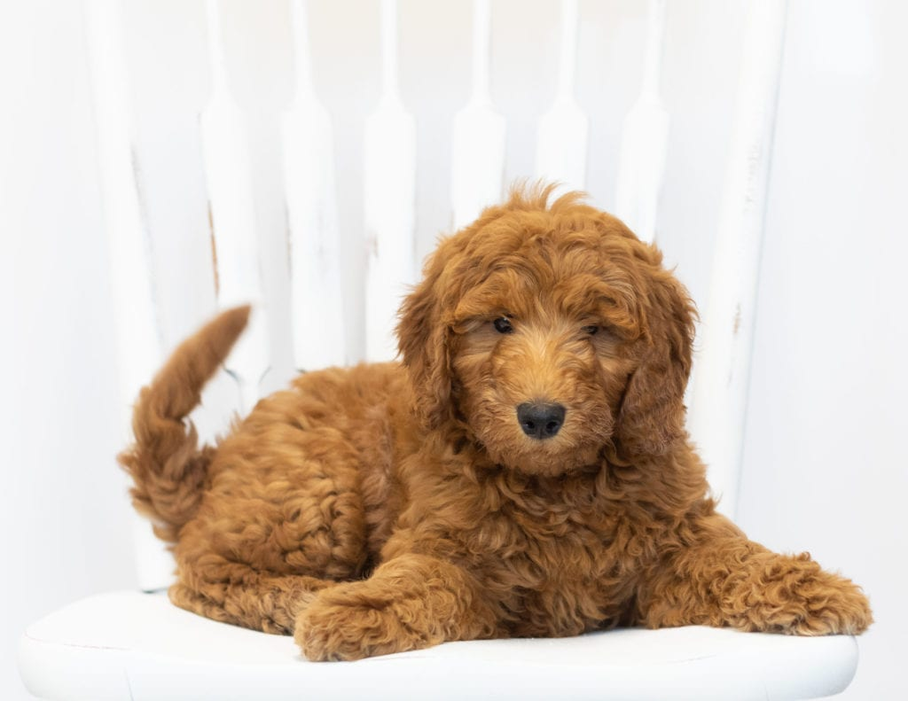 Gimmy is an F1B Goldendoodle that should have  and is currently living in New Jersey