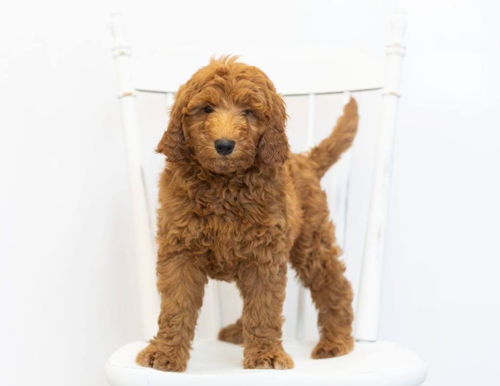 Another great picture of Gimmy, a Goldendoodles puppy