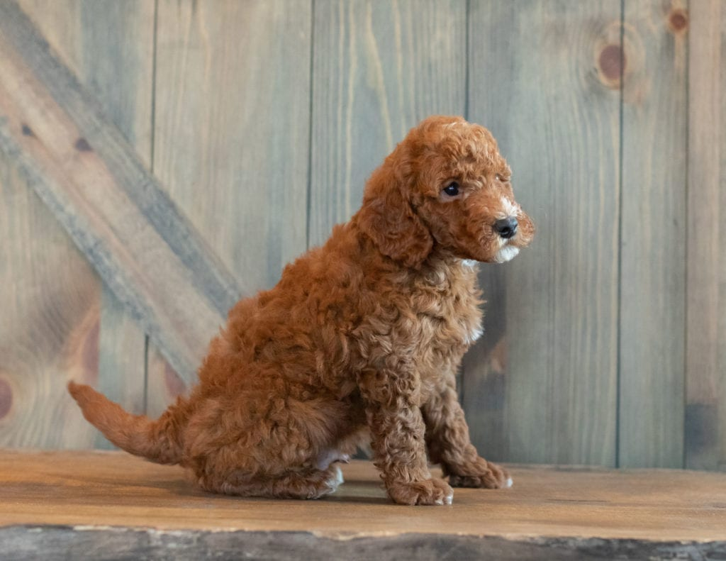Ghost came from Berkeley and Reggie's litter of F1B Goldendoodles