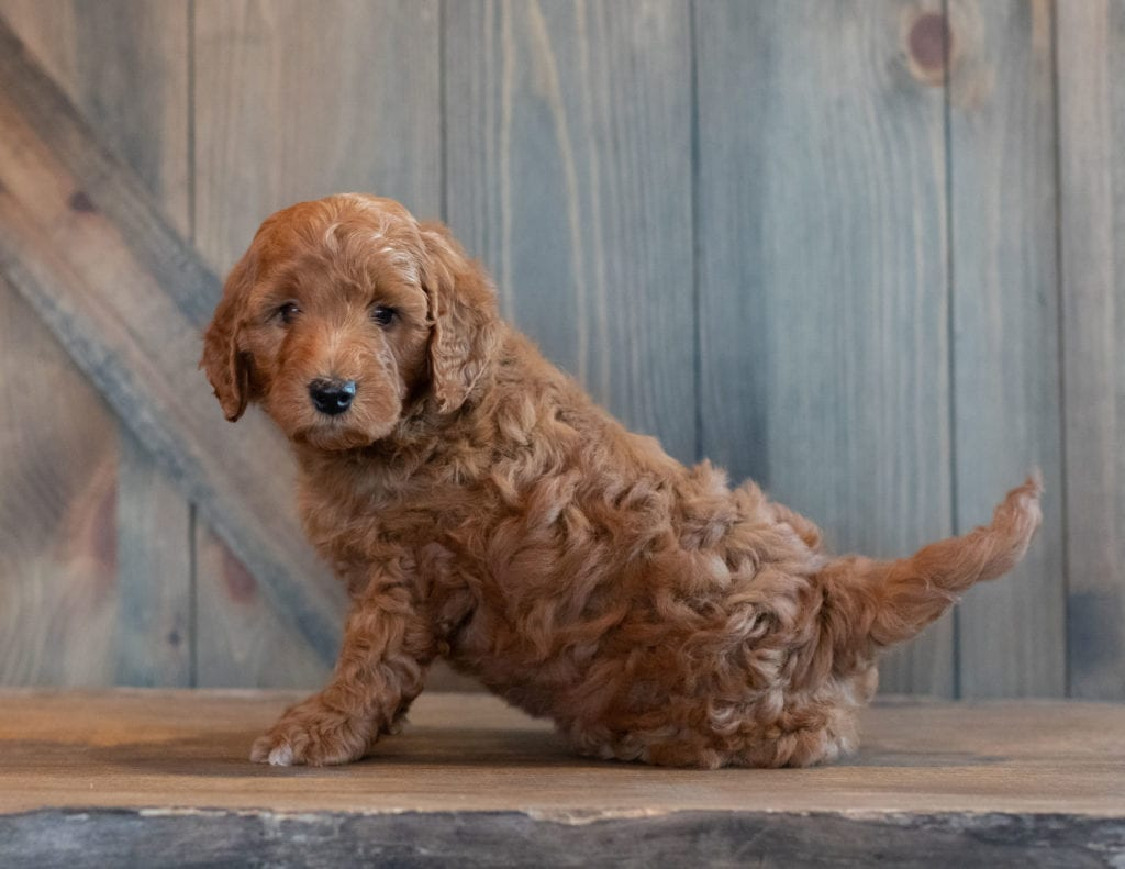 Gimmy came from Berkeley and Reggie's litter of F1B Goldendoodles