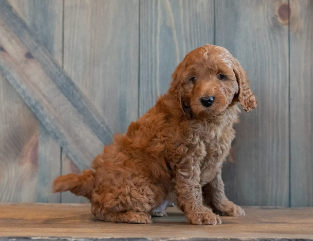 Gimmy is an F1B Goldendoodle.