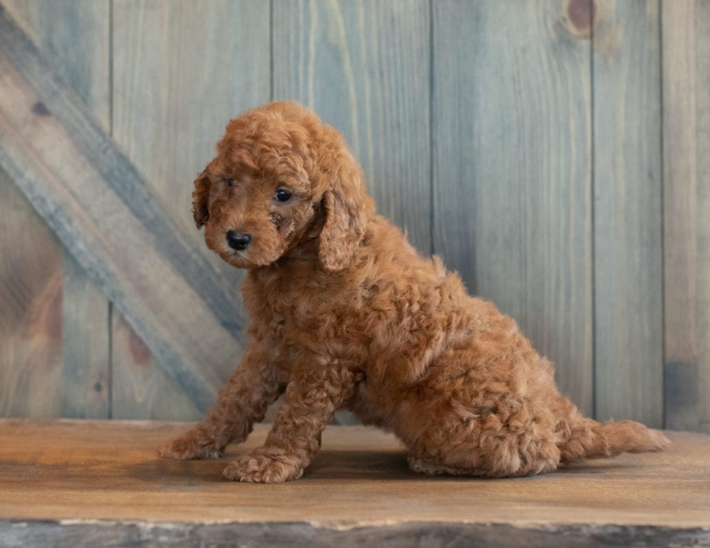 Gwen is an F1B Goldendoodle that should have  and is currently living in Iowa